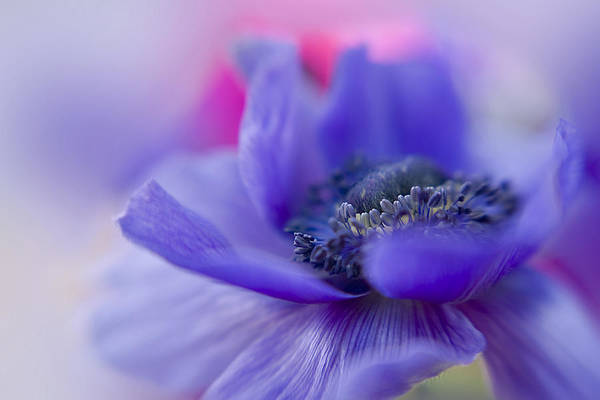 Anemone Print featuring the photograph Gentle Breeze by Jacky Parker