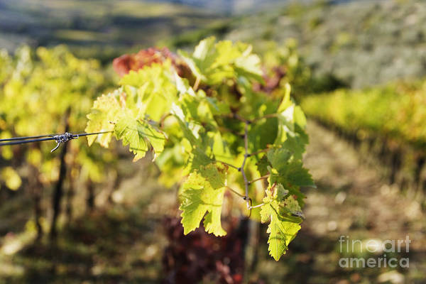 Agriculture Print featuring the photograph Grape Leaves by Jeremy Woodhouse