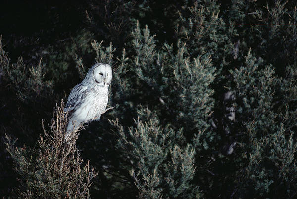 Mp Print featuring the photograph Great Gray Owl Strix Nebulosa In Blonde by Michael Quinton