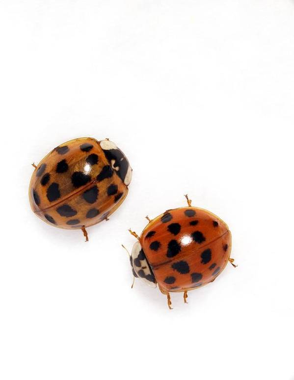 Harlequin Ladybird Print featuring the photograph Harlequin Ladybirds by Sheila Terry