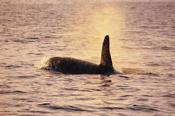 Orcinus Orca Print featuring the photograph Killer Whale by Alexis Rosenfeld
