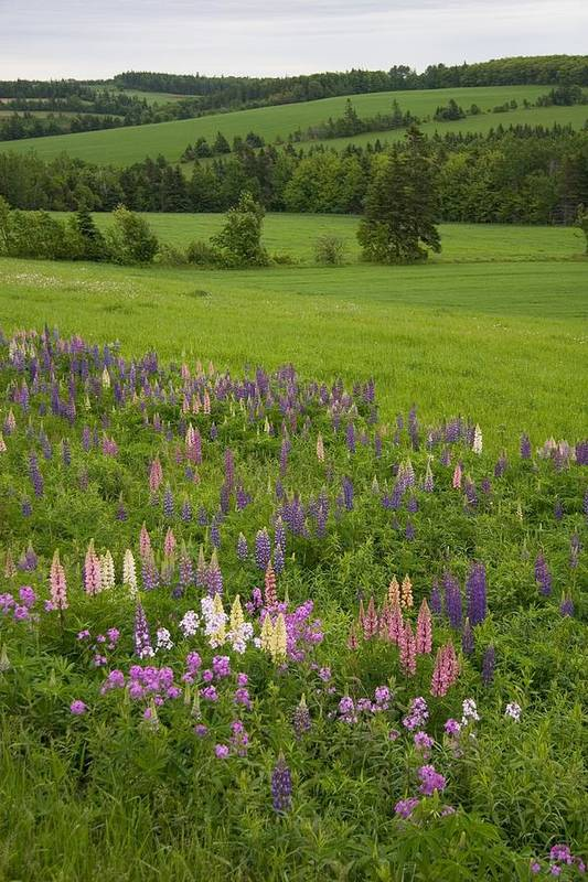 Scenes And Views Print featuring the photograph Lupines Grow In Front Of Hay Fields by Taylor S. Kennedy