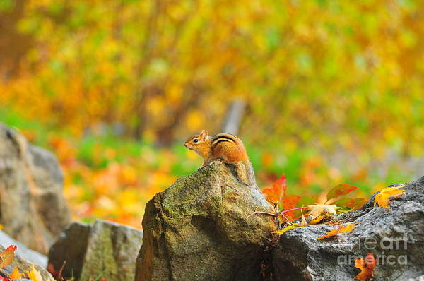 Chipmunk Print featuring the photograph New Hampshire Chipmunk by Catherine Reusch Daley
