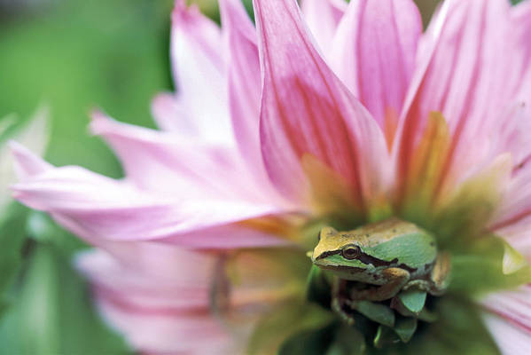 Bright Print featuring the photograph Pacific Tree Frog In A Dahlia Flower by David Nunuk