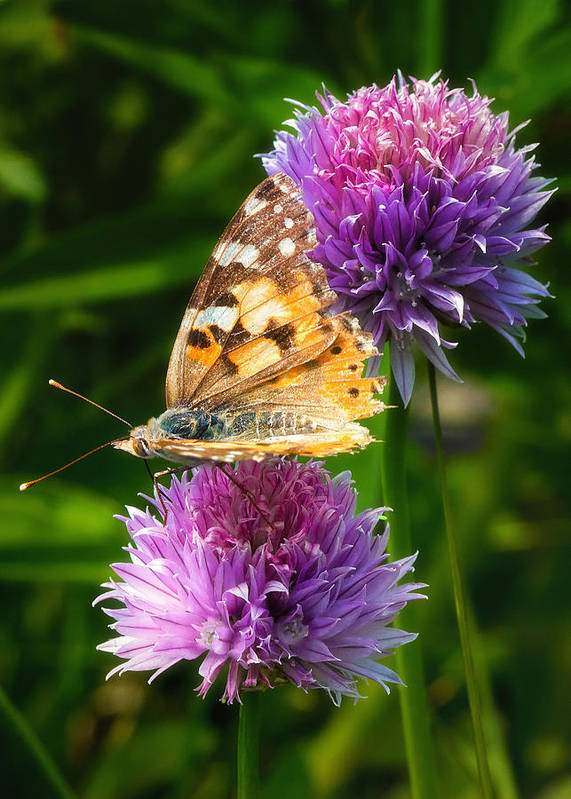 Butterfly Print featuring the photograph Painted Lady -vanessa Cardu by Bill Tiepelman