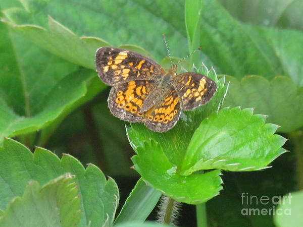 Butterfly Print featuring the photograph Pearl Crescent Butterfly by Randi Shenkman