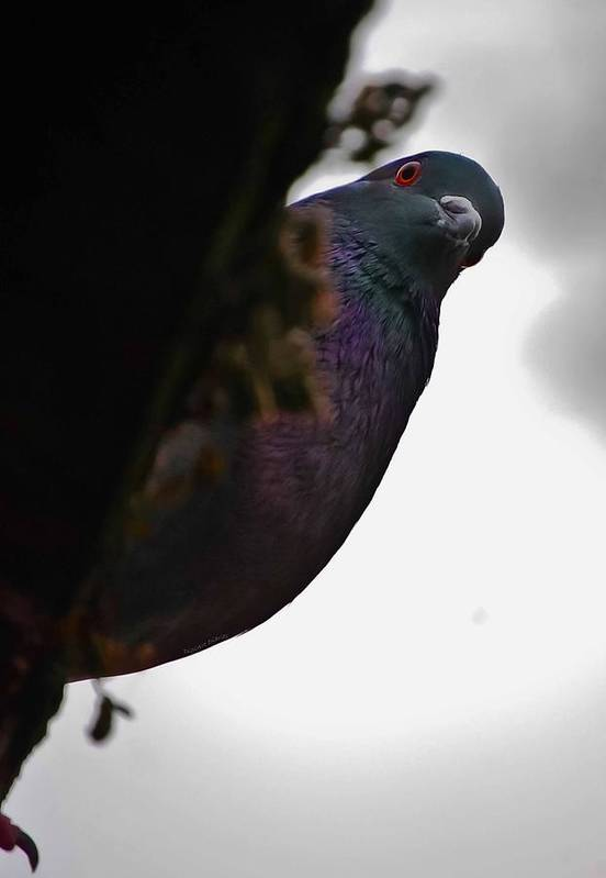 Pigeon Print featuring the photograph Peeking Pigeon by DigiArt Diaries by Vicky B Fuller