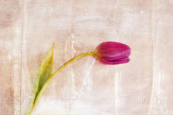 Tulip Print featuring the photograph Penchant Naturel - 09c3t08 by Variance Collections