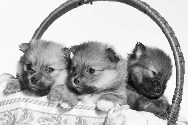 Puppies Print featuring the photograph Pomeranian by Everet Regal