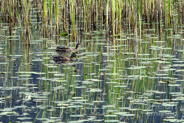 Reflections Print featuring the photograph Reflections On Duck Pond by Sharon Talson