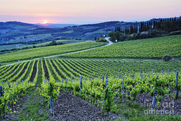 Agriculture Print featuring the photograph Rows Of Grapevines At Sunset by Jeremy Woodhouse