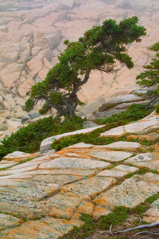 Pitch Pine Print featuring the photograph Schoodic Cliffs by Brent L Ander