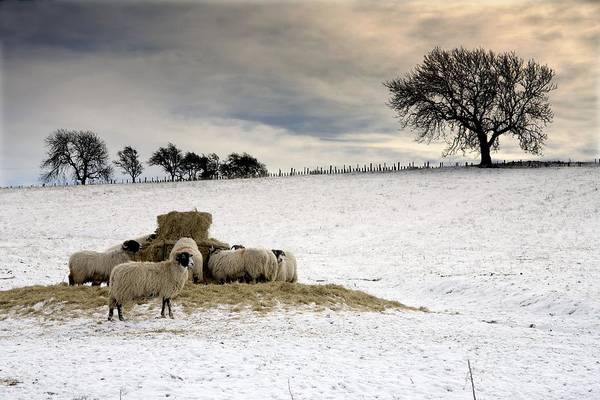 Fields Print featuring the photograph Sheep In Field Of Snow, Northumberland by John Short