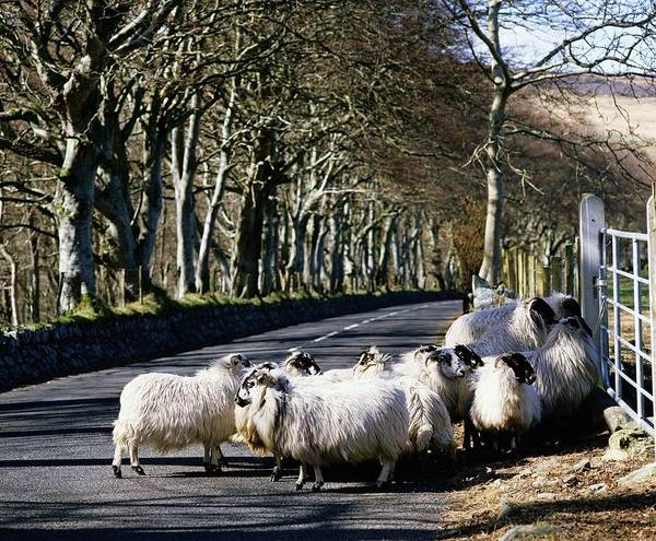 Animals Print featuring the photograph Sheep On The Road, Torr Head, Co by The Irish Image Collection