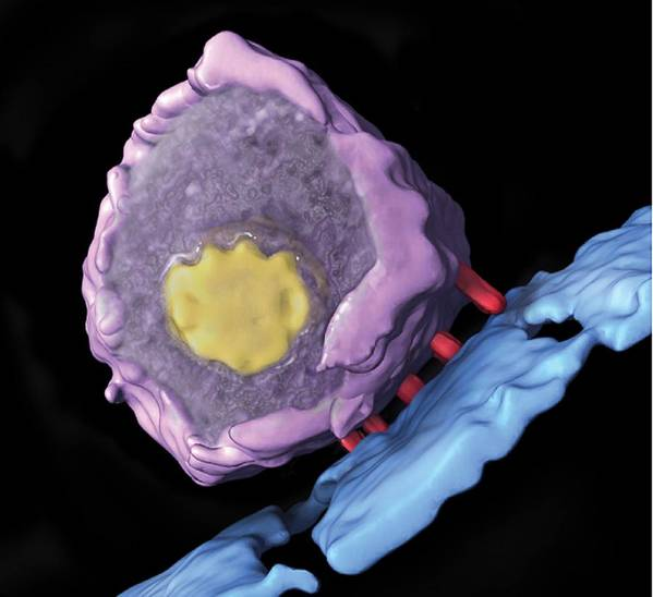 Siv Print featuring the photograph Simian Immunodeficiency Virus (siv) by Sriram Subramaniamnational Cancer Institute