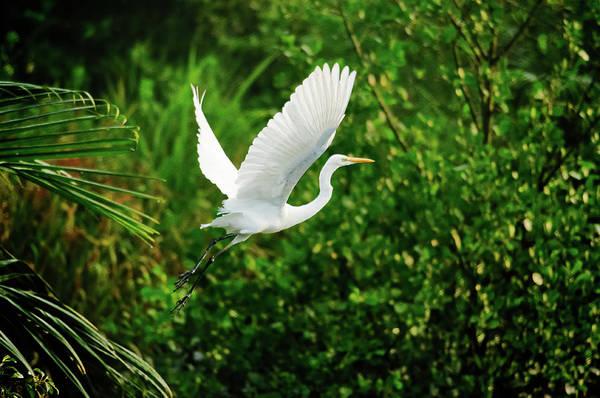 Snowy Egret Bird Print by Shahnewaz Karim