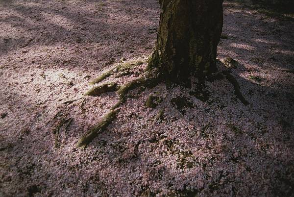 Plants Print featuring the photograph Soft Light On A Pink Carpet Of Fallen by Stephen St. John