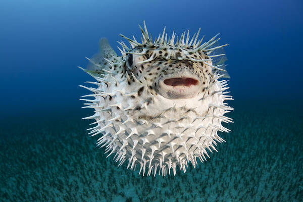 Alone Print featuring the photograph Spotted Porcupinefish IIi by Dave Fleetham
