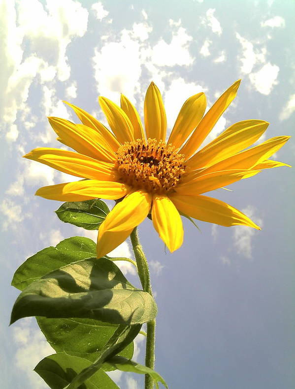 Sunflower Photographs Print featuring the photograph Sunflower by Marilyn Sargent