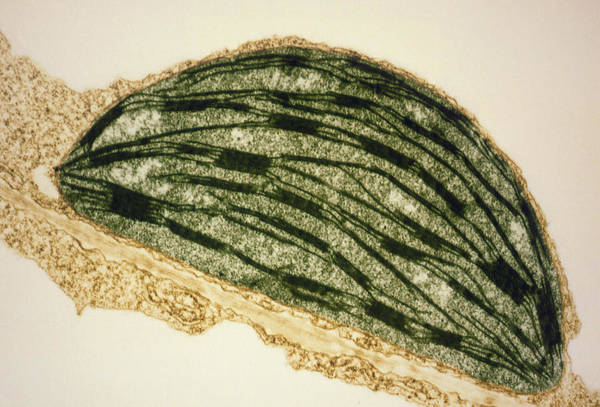 Tem Print featuring the photograph Tem Of A Chloroplast From A Tobacco Leaf by Dr Jeremy Burgess