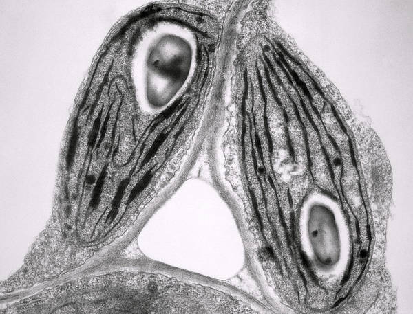 Tem Print featuring the photograph Tem Of Chloroplasts by Dr Jeremy Burgess