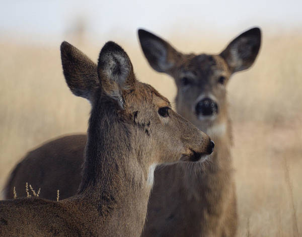 Deer Print featuring the photograph Whitetail Deer by Ernie Echols