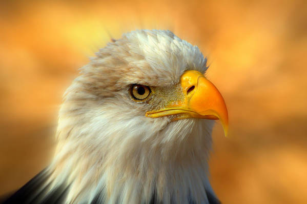 American Bald Eagle Print featuring the photograph Eagle 10 by Marty Koch