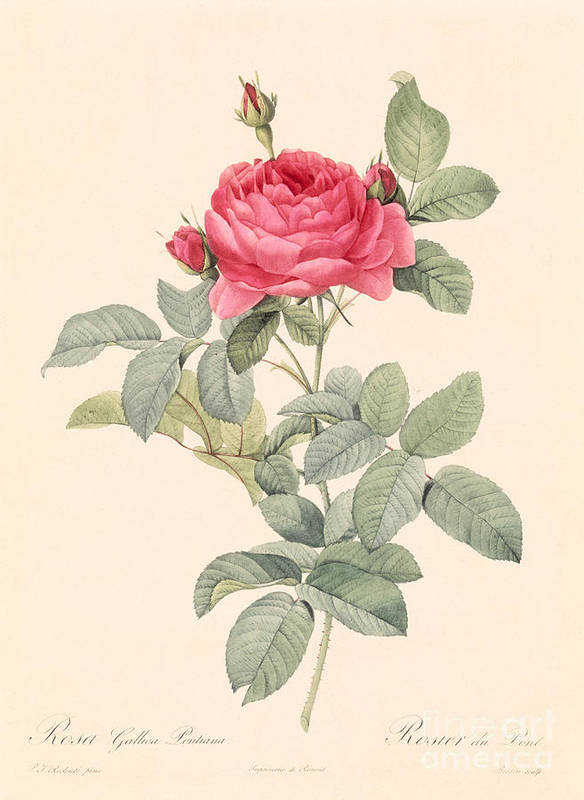 Rosa Print featuring the drawing Rosa Gallica Pontiana by Pierre Joseph Redoute