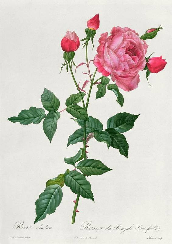 Rosa Print featuring the drawing Rosa Indica by Pierre Joseph Redoute