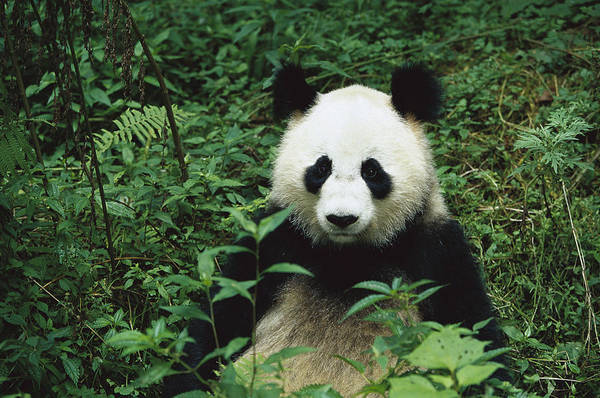 Mp Print featuring the photograph Giant Panda Ailuropoda Melanoleuca by Cyril Ruoso