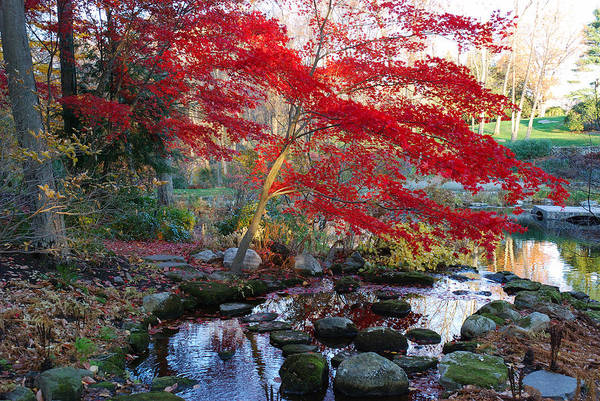 Acer Palmatum Print featuring the photograph A Japanese Maple With Colorful, Red by Darlyne A. Murawski