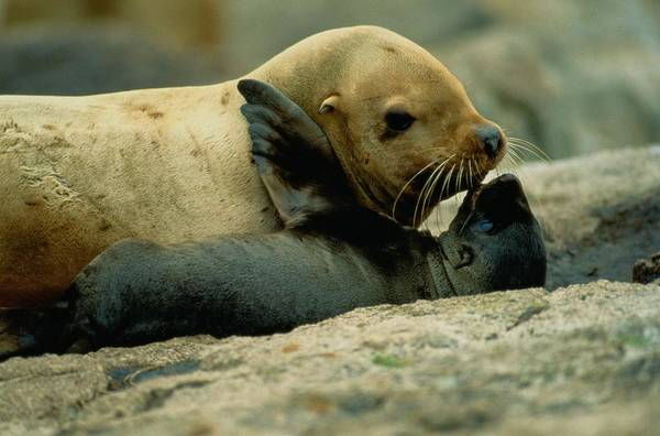 Lowrie Island Print featuring the photograph A Steller Sea Lion Cow Eumetopias by Joel Sartore