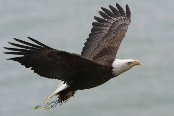 Day Print featuring the photograph An American Bald Eagle Soaring by Roy Toft