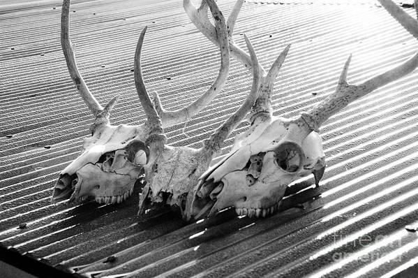 Black & White Print featuring the photograph Antlers On Tin Roof by Thomas R Fletcher
