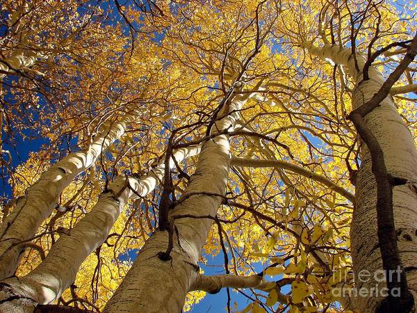 Aspen Tree Fall Colors Print featuring the photograph Aspen's Reaching by Scott McGuire