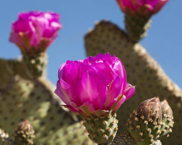Cactus Print featuring the photograph Beavertail Cactus Blossom 2 by Kelley King