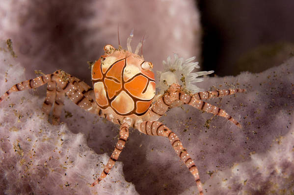 Boxer Crabs Print featuring the photograph Boxer Crab On Sponge Lybia Tesselata by Tim Laman