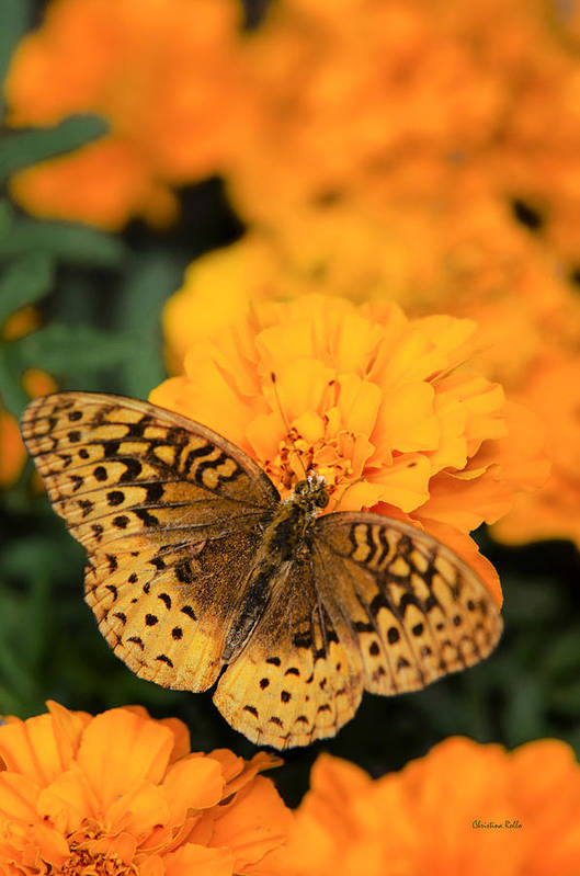 Butterfly On Orange Marigolds Art Print by Christina Rollo