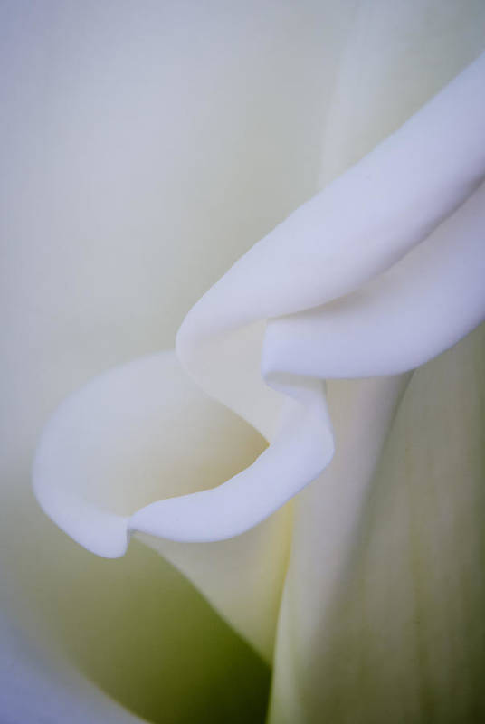 Flowers & Plants Print featuring the photograph Calla Lily by Kelly McNamara