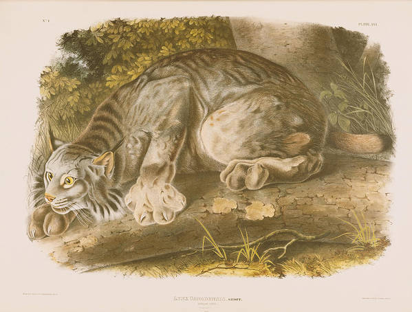 Cat Print featuring the drawing Canada Lynx by John James Audubon