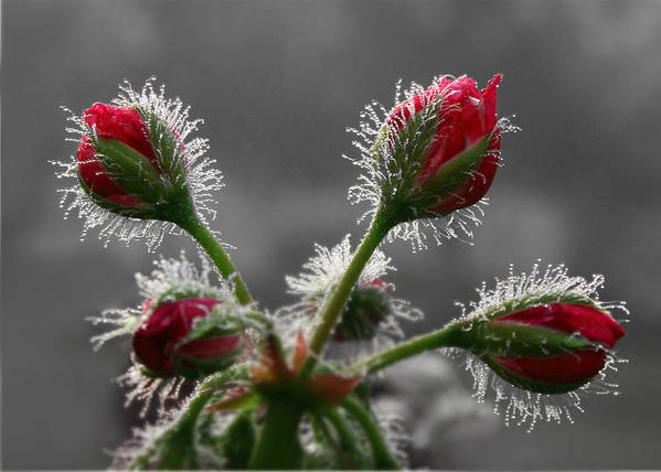 Geranium Print featuring the photograph Christmas In May by Lori Deiter