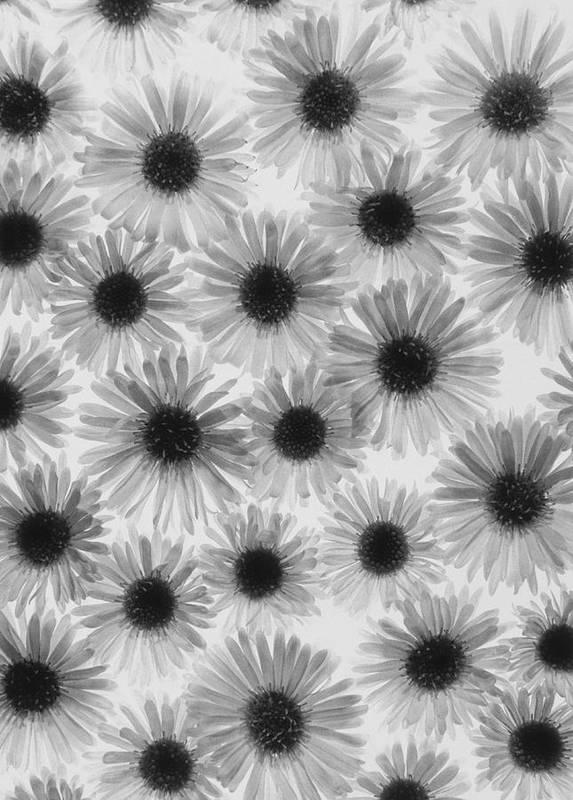 Chrysanthemum Print featuring the photograph Chrysanthemum Flowers by Graeme Harris