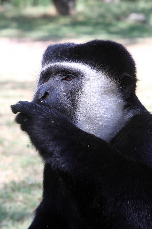 Colobus Print featuring the photograph Colobus Monkey by Aidan Moran