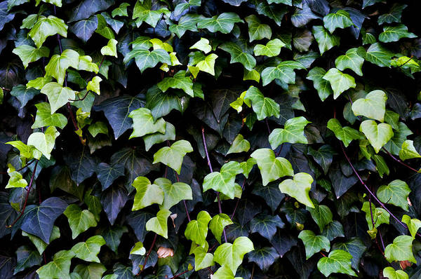 Close Up Print featuring the photograph Common Ivy by Fabrizio Troiani