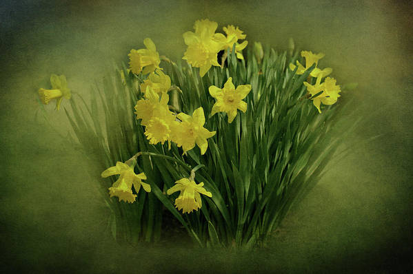 Daffodils Print featuring the photograph Daffodils by Sandy Keeton