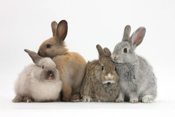 Nature Print featuring the photograph Four Baby Rabbits by Mark Taylor