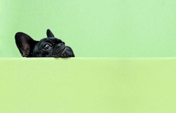 Horizontal Print featuring the photograph French Bulldog Puppy by Retales Botijero