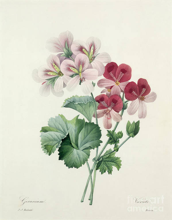 Geranium Print featuring the drawing Geranium Variety by Pierre Joseph Redoute