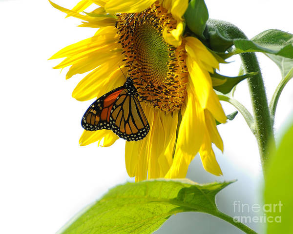 Butterfly Print featuring the photograph Glowing Monarch On Sunflower by Edward Sobuta