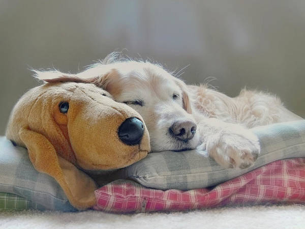 Golden Retriever Print featuring the photograph Golden Retriever Dog Sleeping With My Friend by Jennie Marie Schell
